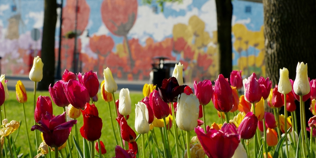 Tulips blooming in Orange City's downtown park